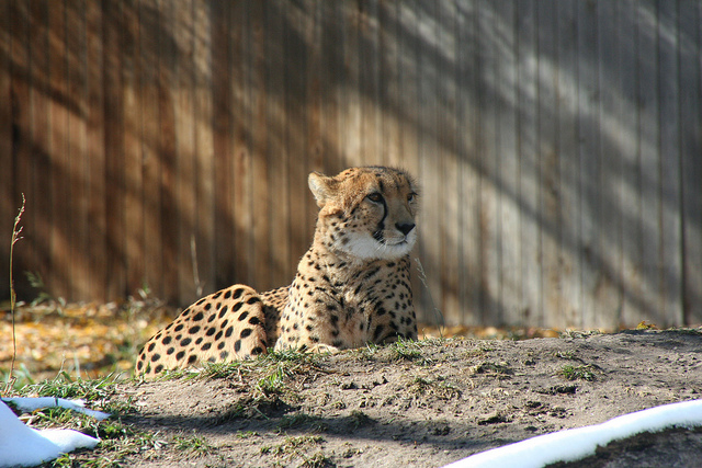 For the Love of Big Cats (Or, So Begins No-Technology Friday)